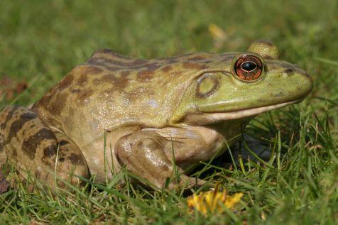 brulkikker /bullfrog