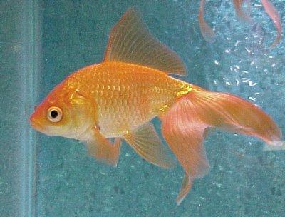 goudvis geheugen