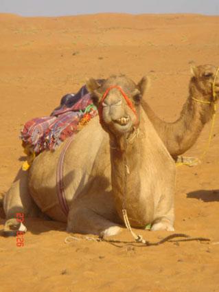 Meesterbrein De Kameel Quot Het Schip Van De Woestijn Quot