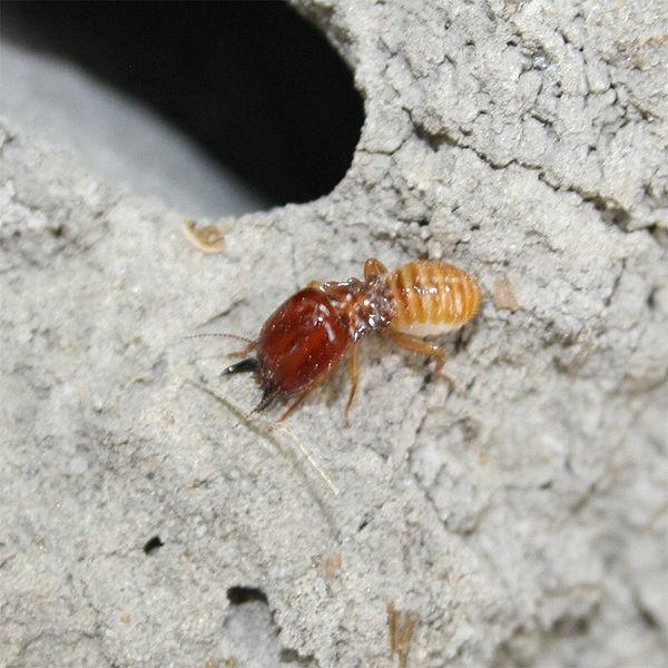 Meesterbrein | Termieten zijn blind en kunnen tot wel zeven jaar oud ... Queen Termite Anatomy