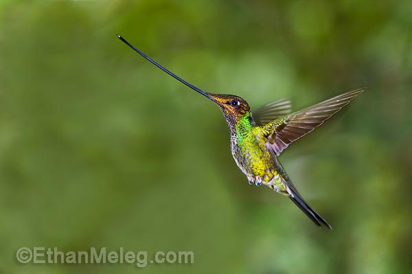 zwaardkolibrie